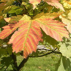 ACER heldreichii Balkan Maple seed for sale