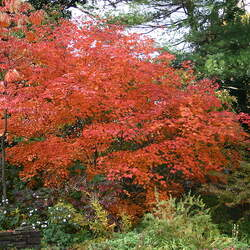 Acer japonicum  aconitifolium   dry seed Fern-leaved Full-Moon Maple, Downy Japanese Maple seed for sale