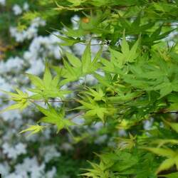 ACER palmatum amoenum  Mikawa yatsubusa  fresh/green seed Mikawa yatsubusa Japanese Maple seed for sale