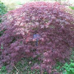 ACER palmatum matsumurae  Ornatum  dry seed Ornatum Japanese Maple seed for sale