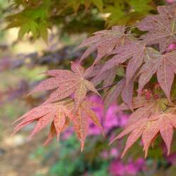 ACER palmatum matsumurae  Chitoseyama  fresh/green seed Chitoseyama Japanese Maple seed for sale