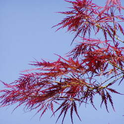 ACER palmatum matsumurae  Burgundy Lace  dry seed Burgundy Lace Japanese Maple seed for sale