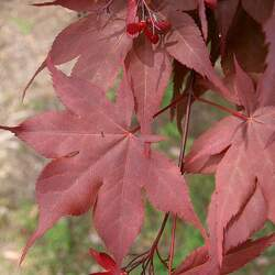 ACER palmatum matsumurae  Emperor 1  fresh/green seed Red Emperor Japanese Maple, Emperor 1 Japanese Maple seed for sale
