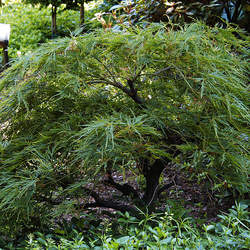 ACER palmatum matsumurae  Waterfall  dry seed Waterfall Japanese Maple seed for sale