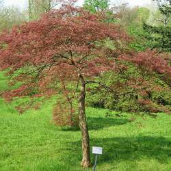 ACER palmatum matsumurae  Inaba shidare  dry seed Inaba Shidare Japanese Maple seed for sale