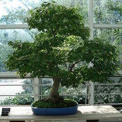 ACER palmatum   Arakawa  fresh/green seed Arakawa Japanese Maple, Rough Bark Maple seed for sale