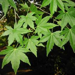 ACER palmatum amoenum  Koto-no-ito  dry seed Koto-no-ito Japanese Maple seed for sale