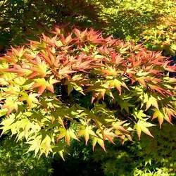 ACER palmatum amoenum  Villa Taranto  fresh/green seed Villa Taranto Japanese Maple seed for sale
