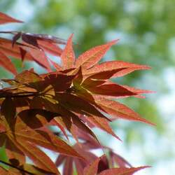 ACER palmatum amoenum  Kinran  dry seed Kinran Japanese Maple seed for sale