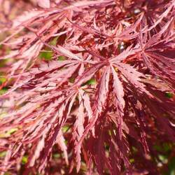 ACER palmatum matsumurae  Trompenburg  fresh/green seed Trompenburg Japanese Maple seed for sale
