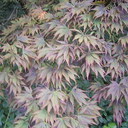 ACER palmatum matsumurae  Ornatum  fresh/green seed Ornatum Japanese Maple seed for sale