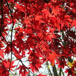 ACER palmatum matsumurae  Atropurpureum  fresh/green seed Red Japanese Maple seed for sale