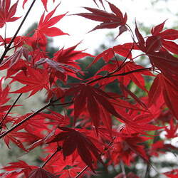 ACER palmatum matsumurae  Beni Otake  dry seed Big Red Bamboo Japanese Maple seed for sale