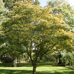 ACER palmatum amoenum  Omato  dry seed Omato Japanese Maple seed for sale