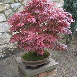 ACER palmatum amoenum  Shojo  dry seed Shojo Japanese Maple seed for sale