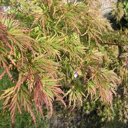 ACER palmatum matsumurae  Kasagiyama  fresh/green seed Kasagiyama Japanese Maple seed for sale
