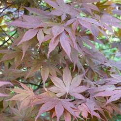 ACER palmatum matsumurae  Emperor 1  dry seed Red Emperor Japanese Maple seed for sale