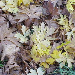 ACER platanoides   Schwedleri Schwedleri Norway Maple seed for sale