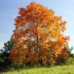 ACER platanoides     winged Norway Maple seed for sale