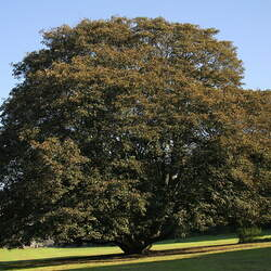 ACER pseudoplatanus   Purpurascens Purpurascens Sycamore Maple seed for sale