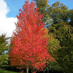 ACER rubrum    Southern dewinged Red Maple seed for sale