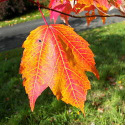 Acer rubrum    Northern winged seed Red Maple seed for sale