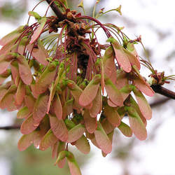 ACER rubrum    Southern winged seed Red Maple seed for sale
