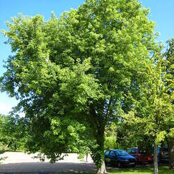 ACER saccharinum Silver Maple, Soft Maple, Water Maple seed for sale