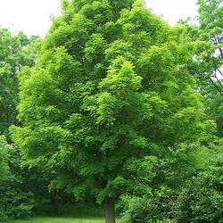 ACER saccharum    Southern dewinged Sugar Maple seed for sale