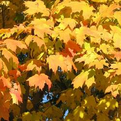 ACER saccharum    Southern wings Sugar Maple seed for sale