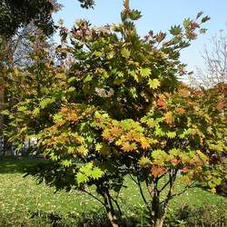 ACER shirasawanum     fresh/green seed Full Moon Maple, Hinauchiwa Kaede seed for sale