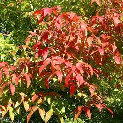ACER triflorum Three Flowered Maple, Roughbark Maple seed for sale