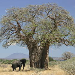 Adansonia digitata Cream of tartar tree, Baobab, Monkey-bread Tree, Dead Rat Tree seed for sale