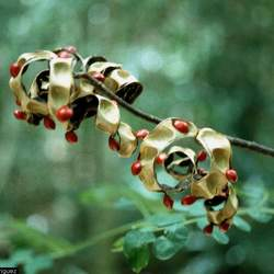 Adenanthera pavonina Red Beadtree seed for sale