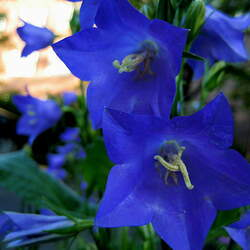 Adenophora Ladybells seed for sale
