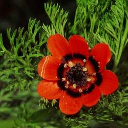 Adonis aestivalis Summer Pheasant's Eye seed for sale