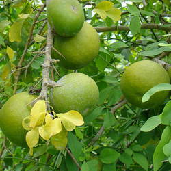Aegle marmelos Indian Bael, Bengal Quince, Golden Apple, Stone Apple, Wood Apple, Bili seed for sale