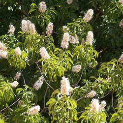 Aesculus californica California Horse Chestnut, California Buckeye seed for sale