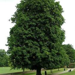 Aesculus hippocastanum Horse Chestnut seed for sale