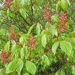 Aesculus pavia    Northern Red Buckeye, Firecracker Plant seed for sale