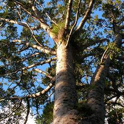 Agathis australis Kauri seed for sale
