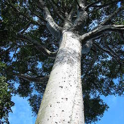 Agathis robusta Queensland Kauri seed for sale