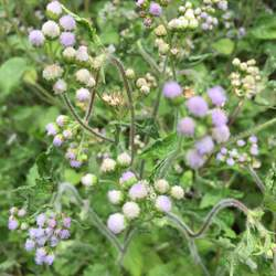 Ageratum conyzoides Tropical Whiteweed seed for sale