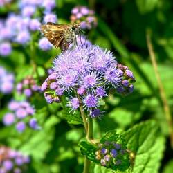 Ageratum houstonianum   Blue Mink Flossflower, Garden Ageratum seed for sale