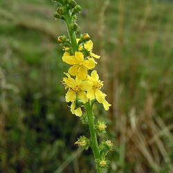 Agrimonia eupatoria Agrimony, Churchsteeples, Common Agrimony, Church Steeples, Sticklewort, Cockeburr, Stickwort seed for sale
