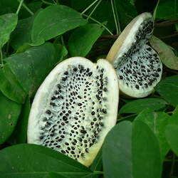 Akebia quinata Five-leaf Akebia, Chocolate Vine seed for sale