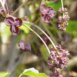 Akebia trifoliata Three-leaf Akebia, Chocolate Vine seed for sale