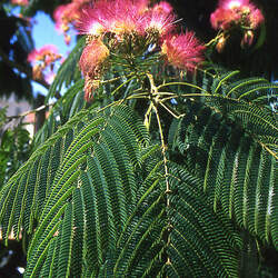Albizia julibrissin Mimosa, Silk Tree, Persian Silk Tree, pink siris seed for sale