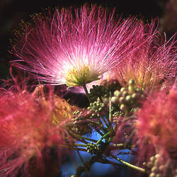 Albizia julibrissin   E.H. Wilson E.H. Wilson Silk-tree seed for sale