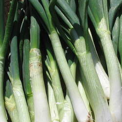 Allium fistulosum   White Spear Bunches White Spear Bunches Onion, Japanese Bunching Onion, Welsh Onion, Spring Onion, Scallion seed for sale